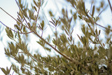 View through the leaves of an olive tree