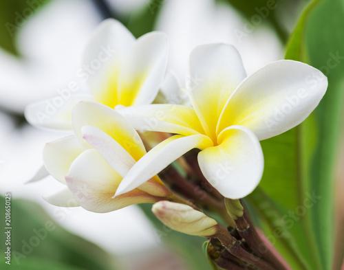 Fotobehang Plumeria Purity of white Plumeria or Frangipani flowers. Blossom of tropical tree. (selective focus)