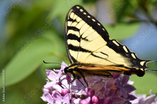 Fotobehang Vlinder Yellow Swallowtail Butterfly on Purple Lilacs