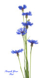 Bouquet of blue cornflowers isolated on white background. Selective focus