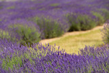 a picturesque view of blooming lavender fields - 208656315