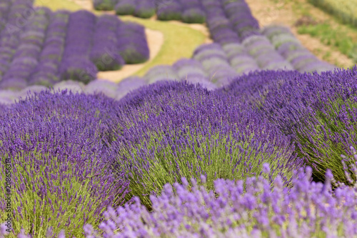 Fotobehang Lavendel a picturesque view of blooming lavender fields
