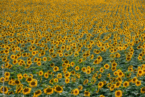 sunflower field landscape on sunset. Agriculture concept.