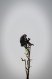 Chimpanzee sitting in top of bare tree eating, Sierra Leone, Africa
