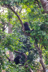Two chimpanzees sitting relaxed in lush green tree resting, Sierra Leone, Africa