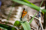 Small copper butterfly on a blade of grass