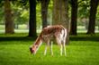 A deer eating grass in Pheonix Park, Dublin - 208669923