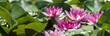 Leinwanddruck Bild - Seerosen Sommer See extra breit