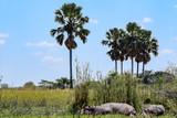 Hippopotamus resting on bank of river in Malawi, Africa. Hippopotamus amphibius - 208674779