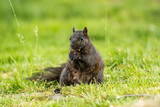 cute black squirrel eating nut on the grass while holding it with its two hands. - 208675503