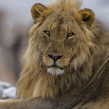 Portrait of a male lion in Etosha National Park in Namibia