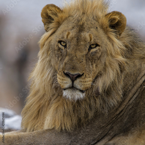 Fotobehang Lion Portrait of a male lion in Etosha National Park in Namibia