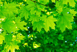 green leaves on the summer forest - 208682517