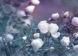 Flowering bush of a rose - 208682522