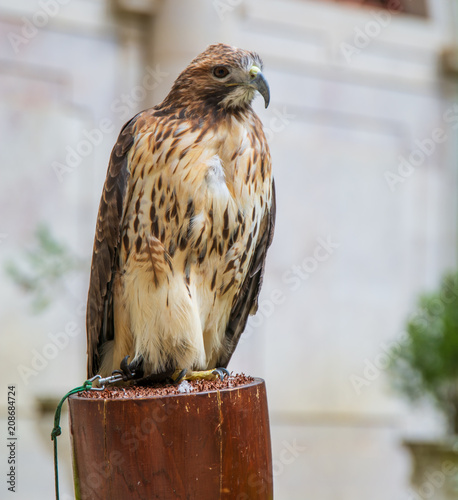 Plexiglas Eagle eagle in captivity