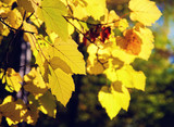 Yellow leaves on a twig in autumn - 208686124