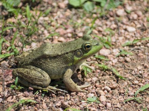 Fotobehang Kikker Isolated Green Frog On Gravel