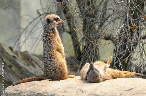 Naklejka Erdmännchen (Suricata suricatta), stehen, aufmerksam, Vorkommen Afrika, captive