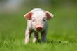 Leinwanddruck Bild - Newborn piglet on spring green grass