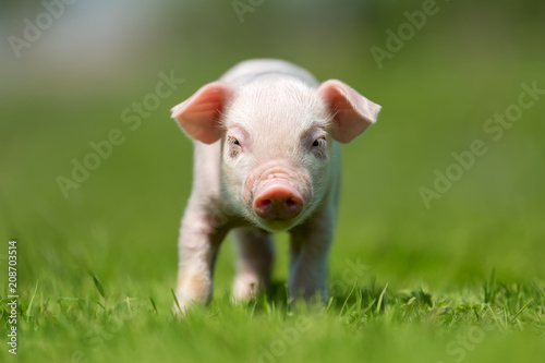 Leinwanddruck Bild Newborn piglet on spring green grass