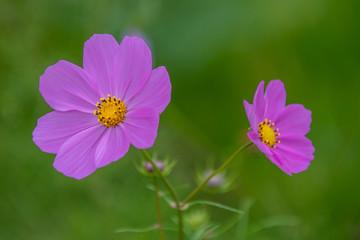 Lilac Cosmos