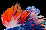 red and blue fighting fish tail texture isolated on black background - 208713908