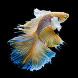 gold Siamese fighting fish movement isolated on black background © kwanchaift