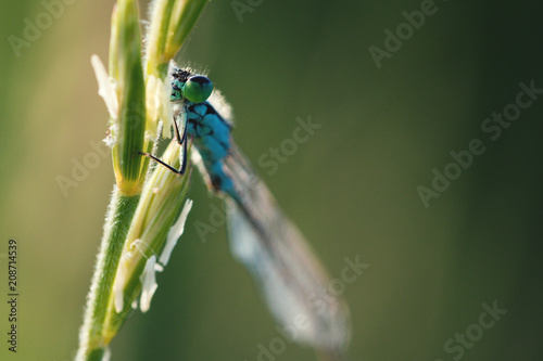 Foto Murales Macro shot of a bright blue dragonfly sitting on a green blade of  grass