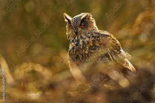 Plexiglas Eagle Eurasian Eagle-Owl - Bubo bubo