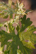 Closeup shot of young grape leaves and flowers in spring