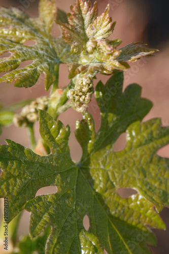 Fotobehang Wijngaard Closeup shot of young grape leaves and flowers in spring