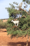 Goats on the argan tree, Morocco - 208716315