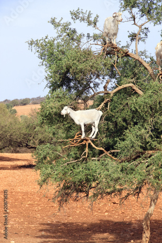Fotobehang Marokko Goats on the argan tree, Morocco