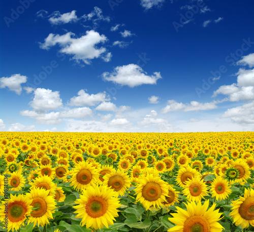 Foto Murales sunflowers field on sky
