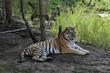 Amur-Tiger (Panthera tigris altaica), liegend, captive,  Deutschland, Europa