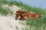 Currituck Horse relaxing - 208730936