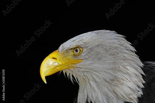 Plexiglas Eagle Weißkopfseeadler (Haliaeetus leucocephalus), Vorkommen in Nordamerika, captive, Deutschland, Europa