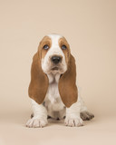 Cute sitting basset hound puppy on a creme background looking at the camera in a vertical image