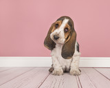 Cute tricolor basset hound puppy sitting looking  cute at the camera in a pink living room setting