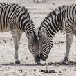 detail of zwo zebras
