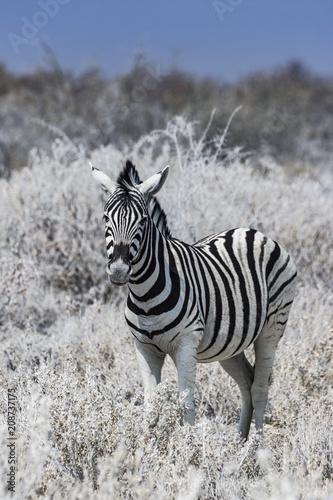 zebra in Etosha national park in Namibia