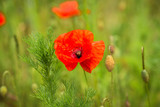 Poppies blooming in a field