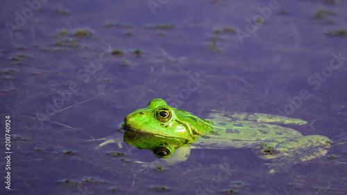 Fotobehang Kikker Sunbathing Toad