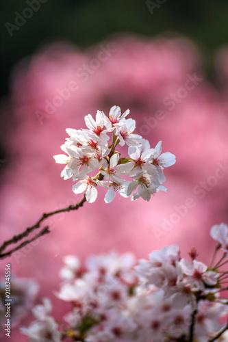 Fotobehang Candy roze 桜の花