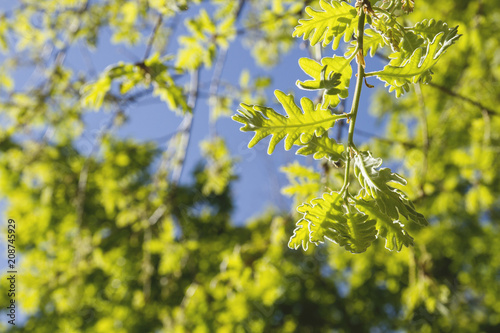 Foto Murales Oak tree foliage in spring