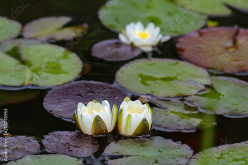 Fototapeta Leaves of the water lily swim in the pond