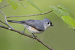 Tufted Titmouse perched in witch hazel