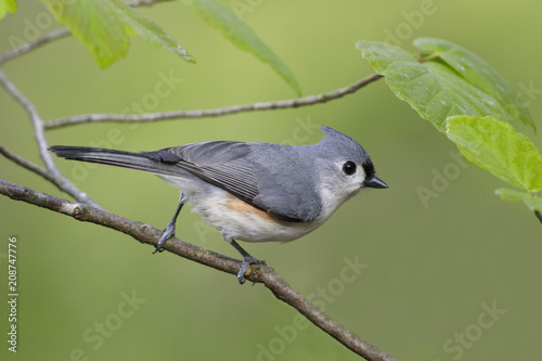 Fotobehang Canada Tufted Titmouse perched in witch hazel