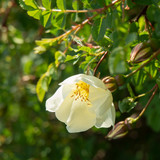 a large white rose Bud, against the green background - 208748736