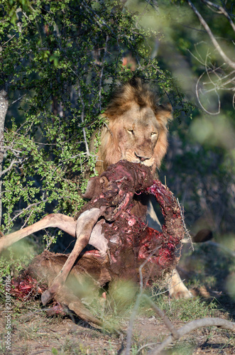 Fotobehang Lion Male lion with prey near Kruger National Park, South Africa